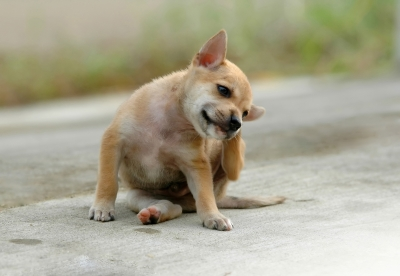 Dog scratching his ears